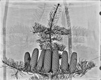 Rameau et cône d'Abies, Arboretum de Tervueren #2351