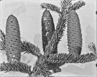 Rameau et cônes d'Abies, Arboretum de Tervueren #2354