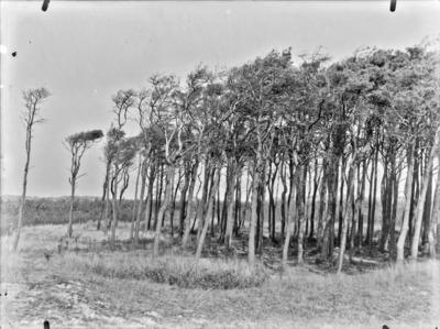 Desséchement des arbres sur le bord occidental d'une pineraie, à Klemskerke (Le Coq) #2097