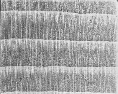 Coupe microscopique de bois #2363