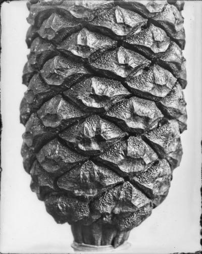 Détail de cône du genre Encephalartos #2308