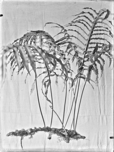 Fougères du genre Phlebodium #1704