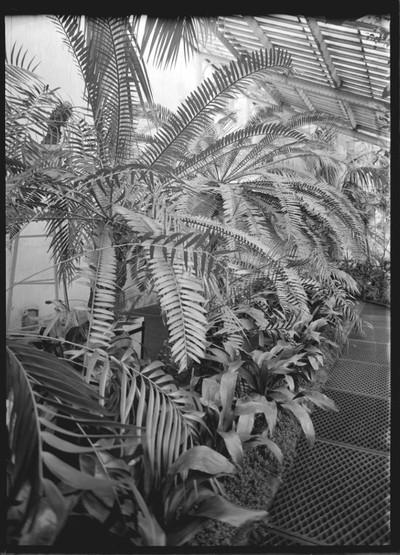 Jardin botanique de Bruxelles : Serre 4 des grandes serres du haut du Jardin. Encephalartos Altensteinii #0237