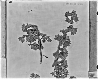 Détail d'une planche d'herbier : Alchemilla ruwenzoriensis #2082