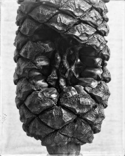 Détail de cône du genre Encephalartos #2311