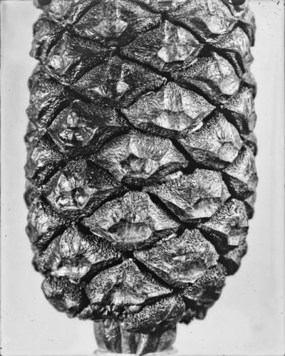 Détail de cône du genre Encephalartos #2312