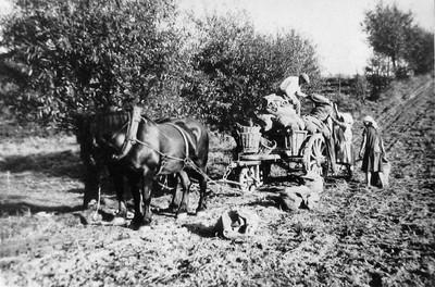 Aardappeloogst in Linkebeek