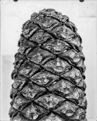 Détail de cône du genre Encephalartos #2313