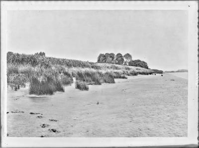 Végétation sur les alluvions vaseuses de l'Escaut, entre Tamise et Rupelmonde, à marée basse #2404