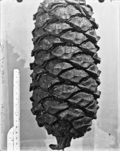 Cône du genre Encephalartos #2344