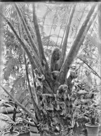 Jardin botanique de Bruxelles : Fougère arborescente du genre Cyathea #1703
