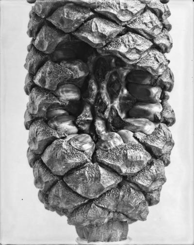 Détail de cône du genre Encephalartos #2307