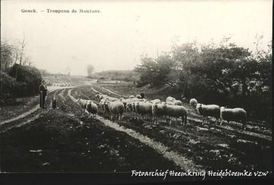 Genck - Troupeau de Moutons