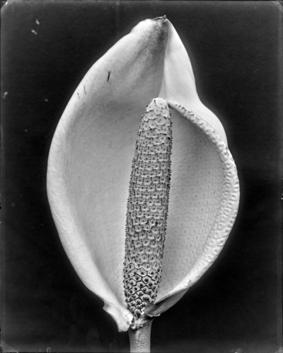 Spadice et spathe de Monstera deliciosa #1934