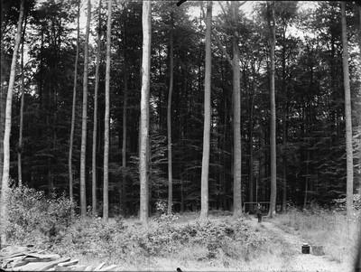 Hêtres à la Forêt de Soignes, Canton de St. Hubert #0117