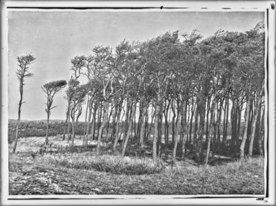 Desséchement des arbres sur le bord occidental d'une pineraie, à Klemskerke (Le Coq) #2438