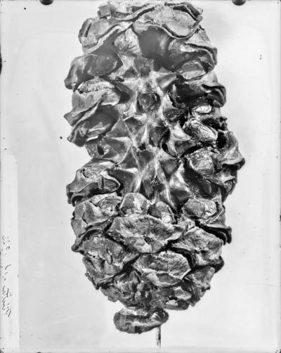 Cône du genre Encephalartos #2345