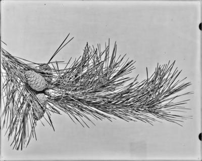 Rameau et cônes de Pinus densiflora #2322
