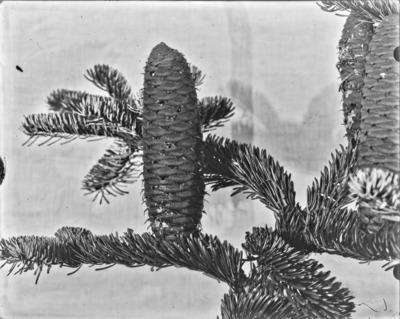 Rameau et cônes d'Abies, Arboretum de Tervueren #2353