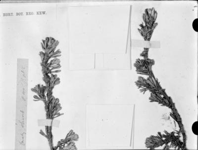 Détail d'une planche d'herbier : Alchemilla #1986