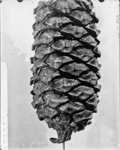Détail de cône du genre Encephalartos #2346