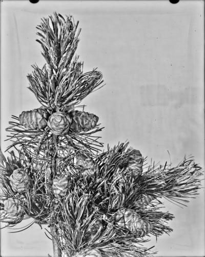 Rameau et cônes de Pinus parviflora, Laeken #2352