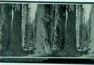 Ferrier p.f. & Soulier, J. Lévy Sr., stereokaart met foto van de mammoetboom Grizzly Giant in Mariposa Grove, s.d., glas.