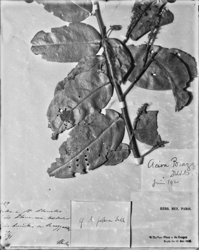 Détail d'une planche d'herbier #1594