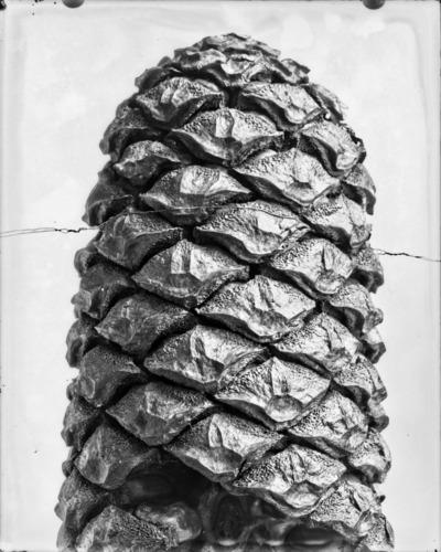 Détail de cône du genre Encephalartos #2304