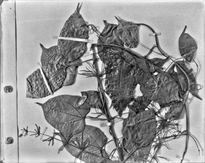 Détail d'une planche d'herbier : Dioscorea pruinosa #2326