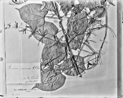 Détail d'une planche d'herbier : Dioscorea pruinosa #2327