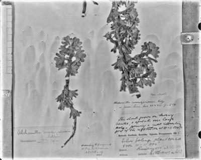 Détail d'une planche d'herbier : Alchemilla ruwenzoriensis #2081