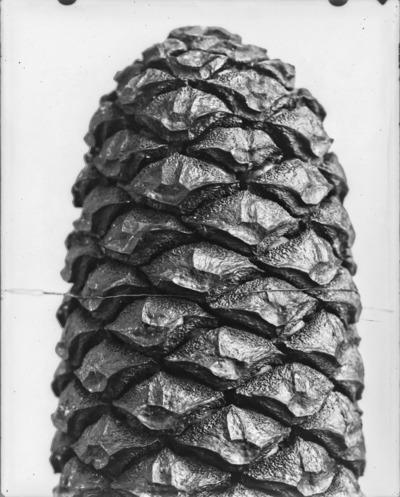 Détail de cône du genre Encephalartos #2306