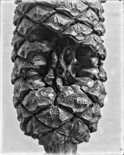 Détail de cône du genre Encephalartos #2310