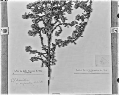 Détail d'une planche d'herbier du Jardin botanique de Bruxelles : Alchemilla emarginata #2079