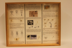 Insectendoos. Ephemeroptera (eendagsvliegen).
