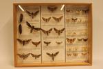 Insectendoos. Lepidoptera: Sphingidae (pijlstaarten), Lymantriidae en Arctiidae (beervlinders).