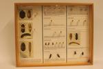 Insectendoos. Coleoptera: Dermestidae (spektorren).