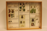 Insectendoos. Coleoptera: Chrysomelidae (bladhaantjes).