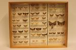 Insectendoos. Lepidoptera: Noctuidae (uilen).