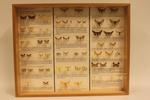 Insectendoos. Lepidoptera: Geometridae (spanners).