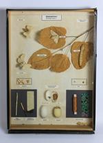 Insectendoos. Lepidoptera: Bombyx mori (zijdespinner).