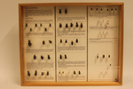 Insectendoos. Coleoptera (schildvleugeligen).
