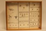 Insectendoos. Diptera (vliegen en muggen).