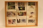 Insectendoos. Pisaura mirabilis (listspin).