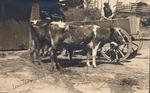 Leefdaal, koeien en kar