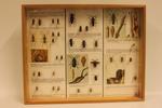 Insectendoos. Coleoptera: Cerambycidae (boktorren).