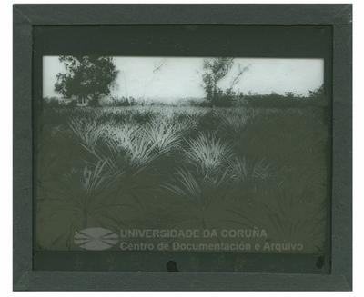 Cuba: campa con plantas de ananas
