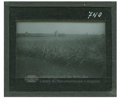 Vegetación cubana