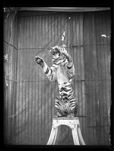 Escena circense con tigre